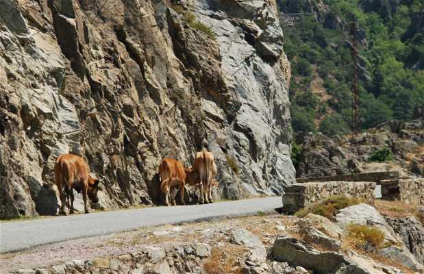 La route vers Calacuccia (D84)