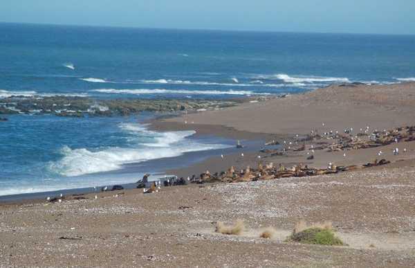 Colonie de lions de mer à Punta Norte