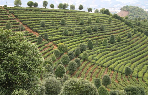 Terrazas de té en Yangshuo