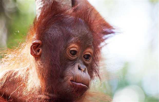 Orang-outans à Kalimantan