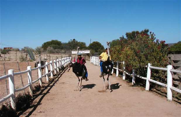 Reserva Cango Ostrich Farm