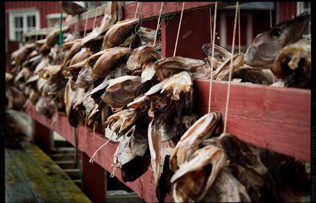 Stockfish o la pesca de bacalao en Lofoten, Noruega