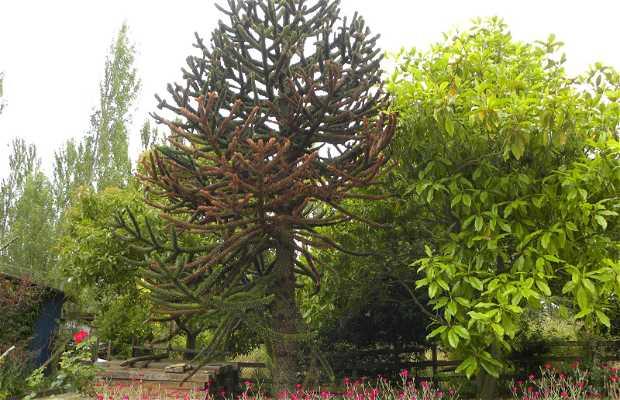 The Chilean Araucaria
