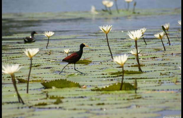 Jacanas and Water Lilies in Sweet River