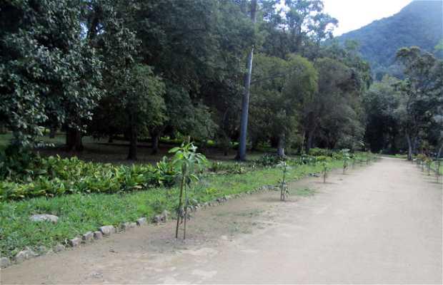 Plantio das Mangueiras (Árbol de Mango)