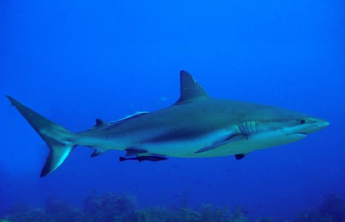 Immersioni con gli squali a Roatan