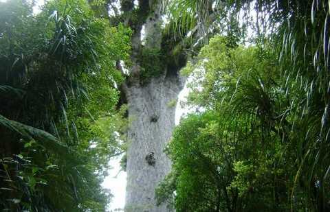 Foresta Waipoua