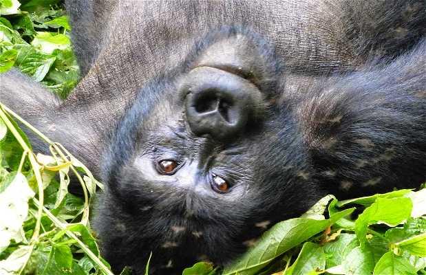 Gorilas em Bwindi Impenetrable Park