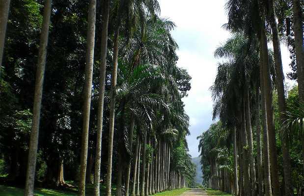 Avenue of Royal Palms