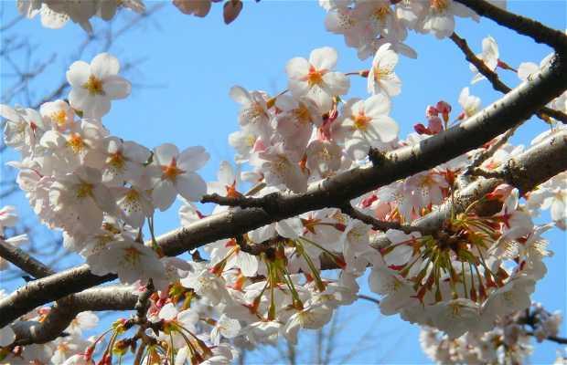 Cherry Blossom Jinhae