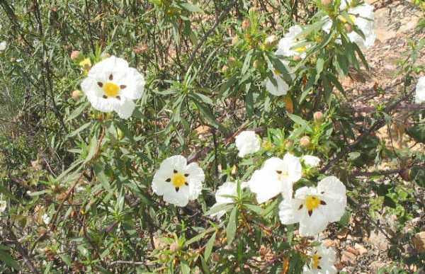 Flores silvestres de Extremadura