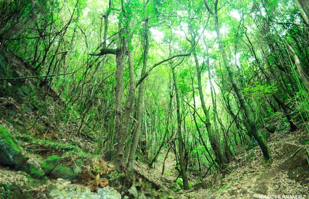Sendero de los guardianes centenarios (Bosque de laurisilva de Agua García)