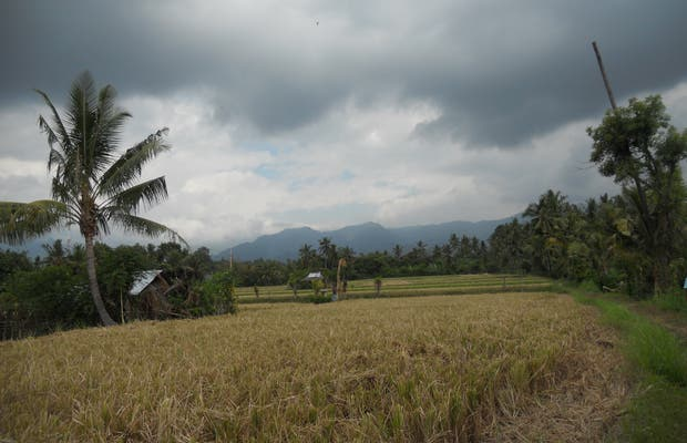 Campos de arroz de Singaraja