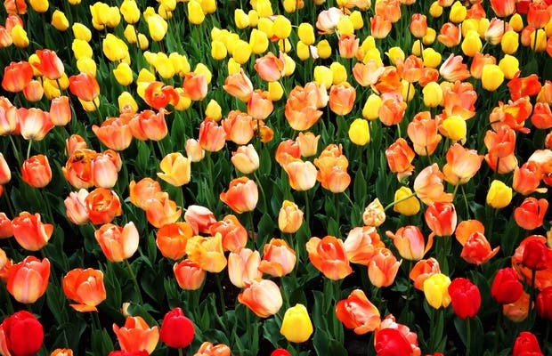 Fête de la tulipe, Morges