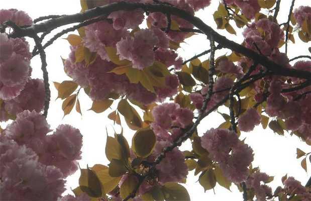 Las flores de cerezo de Japón