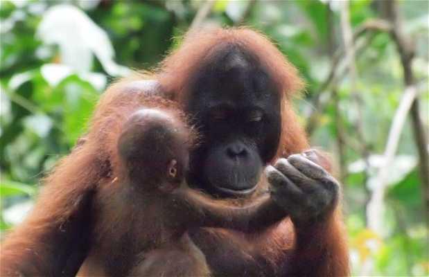 Sepilok Santuario orangutanes